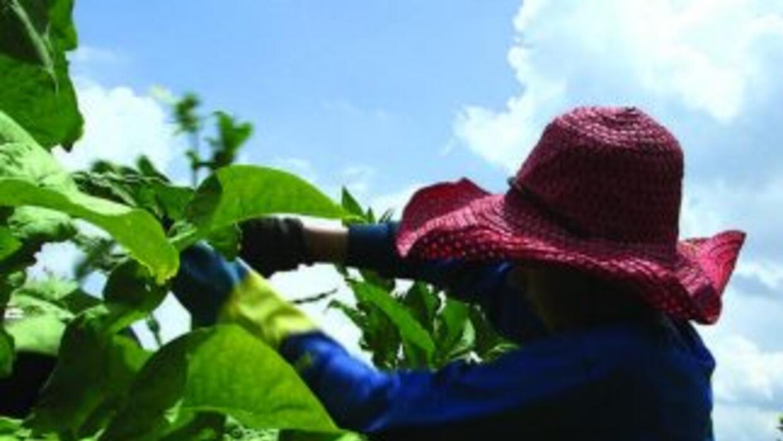Una niña de 15 años cultiva tabaco en uno de los campos en Carolina del...