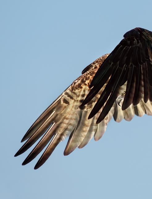 Fotografía del ala de un águila pescadora. Es la ganadora de la categorí...