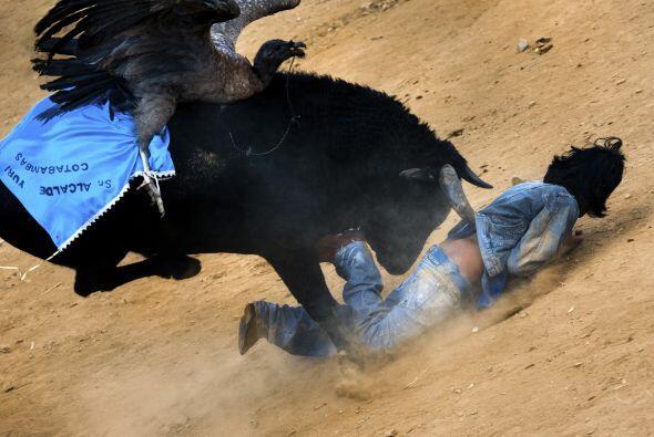 El cóndor capturado se ata en la espalda del toro que ha sido cui...
