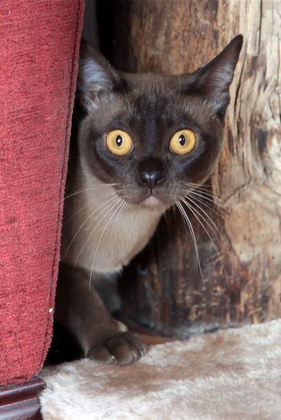 Coco es un gato Birmano color chocolate que se sienta frente al televiso...