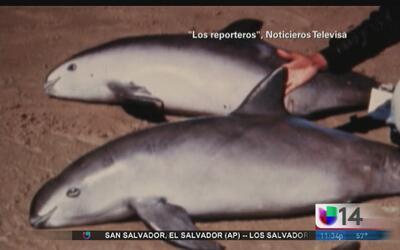 """""""Vaquita marina"""" en peligro de extinción"""