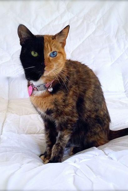 La fascinante particularidad de este felino es que su pelaje atrigrado s...