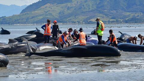 Por lo menos 300 ballenas murieron tras quedar varadas en una bahía en N...
