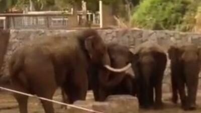 Los elefantes adultos crean una barrera alrededor de las crías segundos...