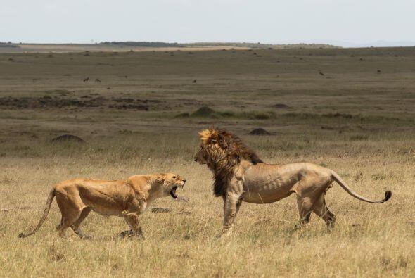 """Añadió: """"Las expresiones del león fueron graciosas e hice lo imposible p..."""
