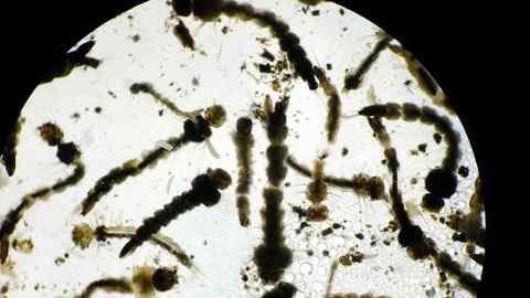 Larvas del mosquito Aedes aegypti, transmisor del virus del Zika, del de...