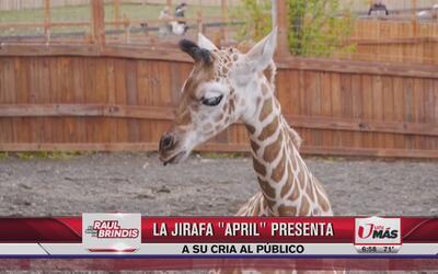 Jirafa 'April' presenta a su cría en Nueva York