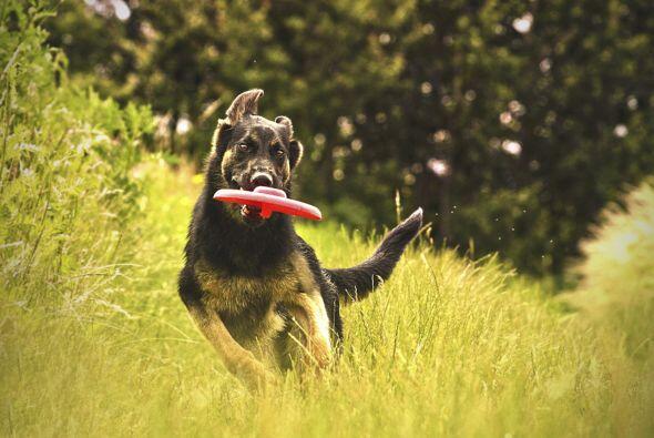 Jugar con el frisbee es una opción más para este verano, el Dogfrisbee e...