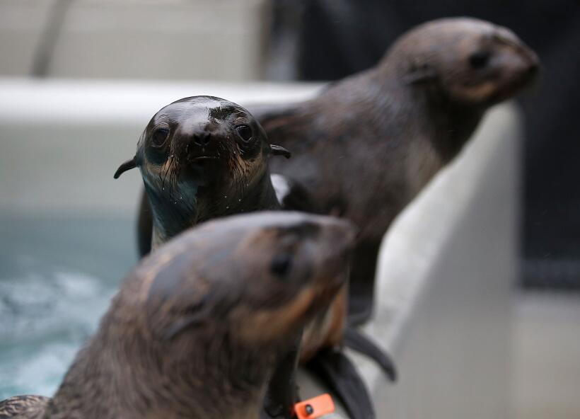 Un número récord de cachorros de lobos marinos han sido en...