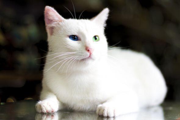 Si te gustan los ojos multicolores y penetrantes, estos gatos te encanta...