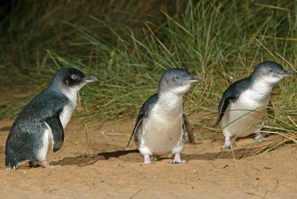 Los amigos de los plumíferos del Phillip Island Nature Park en Victoria,...