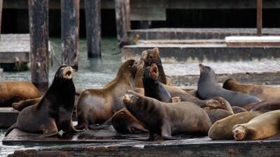 California tienen tres veces más leones marinos que hace 40 años (pero no todos se alegran)