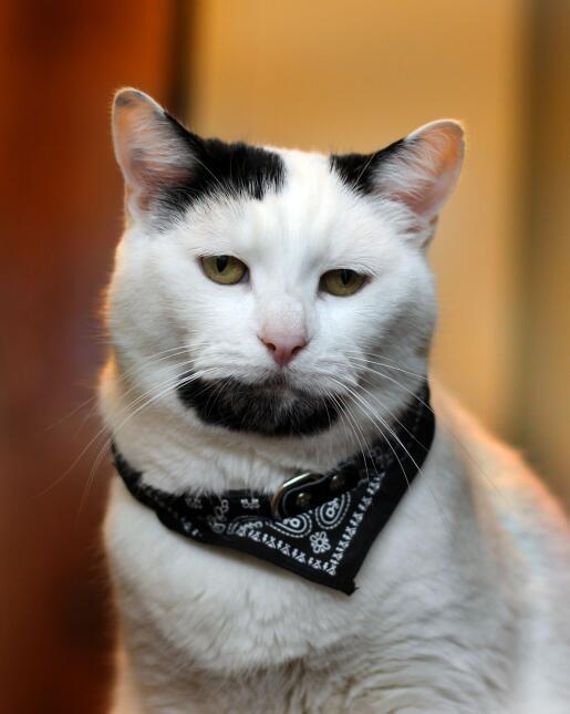 Un gatito con barba muy curioso