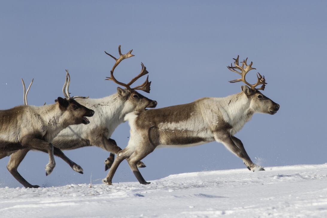 Qué dice la ciencia sobre la nariz roja del reno Rodolfo istock-47261079...