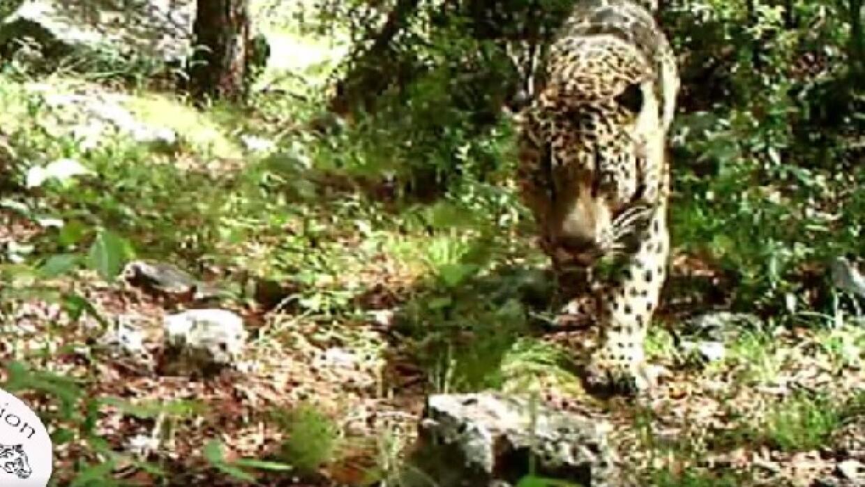 Jaguar en Tucson