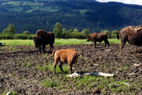 En el lugar también hay renos y osos, entre otros animales.