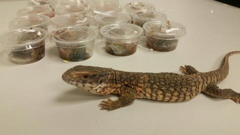 La mercancía incautada contenía un lagarto sabana monitor,...