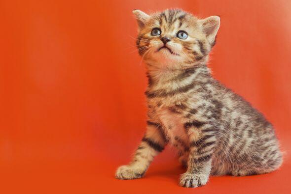 Existen algunos mitos sobre el embarazo y los gatos, pero debes saber qu...