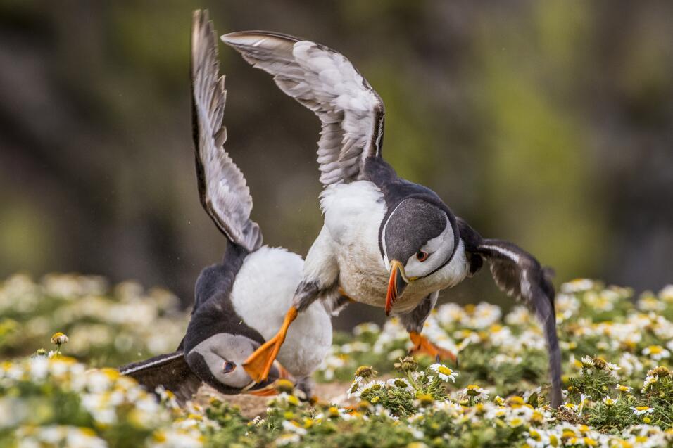 'Frailecillo Kung Fu´ fotografía tomada en la Isla de Skomer, Pembrokesh...