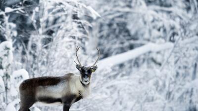 Los renos no pueden volar, pero lo de la nariz roja puede tener una explicación científica
