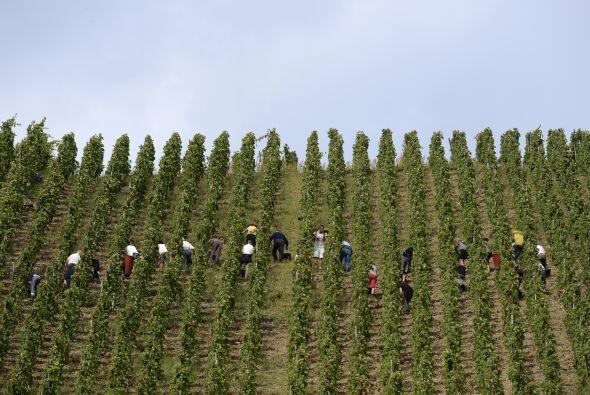 La gente trabajando durante la cosecha controlada en Côte-Rô...
