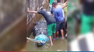 (Video) Cocodrilo devora a científica que lo alimentaba