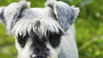 Un perrito de razaschnauzer chilla y se desmaya de tanta emoción que le...
