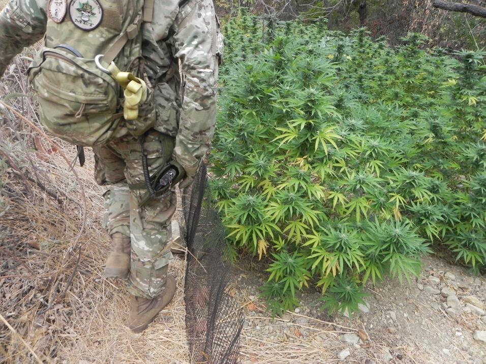 Los agentes policiacos encontraron casi 400 plantas de cannabis de se cu...