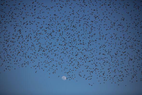 En invierno los estorninos migran hacia el sur en busca de temperaturas...