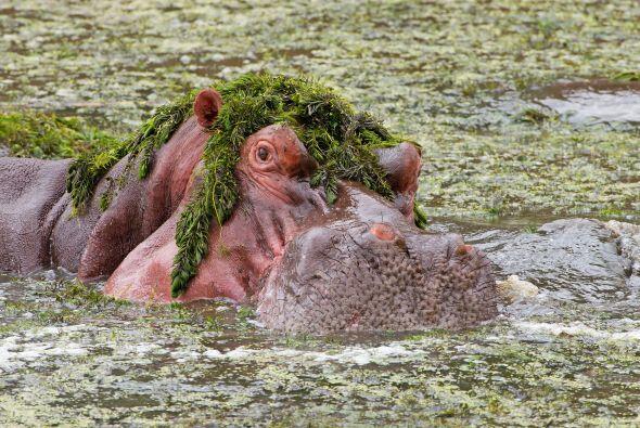 Este divertido hipopótamo terminó con su comida comida como si fuera una...