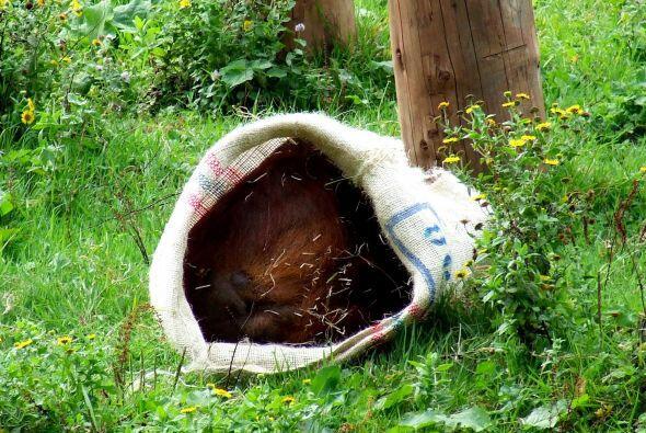 Los orangutanes también utilizaron los sacos para cortar pequeños trozos...
