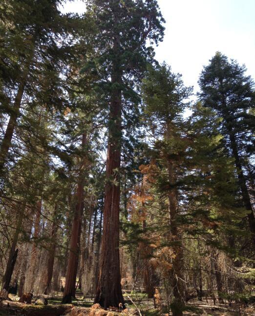 Los árboles secuoya de esta zona llegan a medir 70 metros de altura.