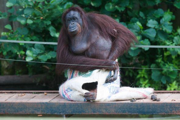 Esta orangután sorprendió a todos cuando utilizó un saco de café como ve...