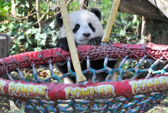 El bebé panda aunque lidió un poco al subir al columpio por fin lo logró.