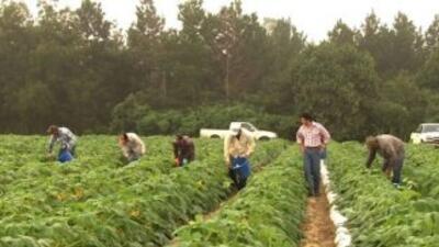 Nadie levanta las cosechas en los campos de Georgia.
