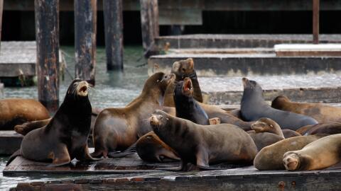 Los leones marinos de California se han recuperado más ráp...