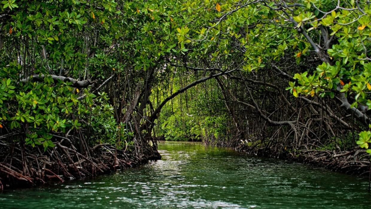 Coastal mangrove forest in Puerto Rico. Mangrove forests provide habitat...