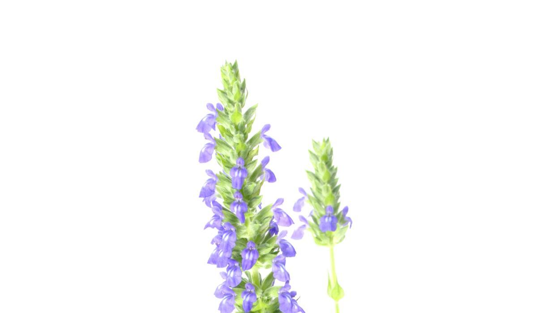 Planta de Chía