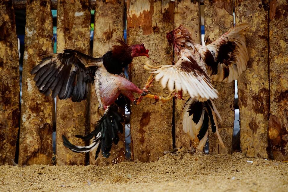 Cuba Pelea de gallos