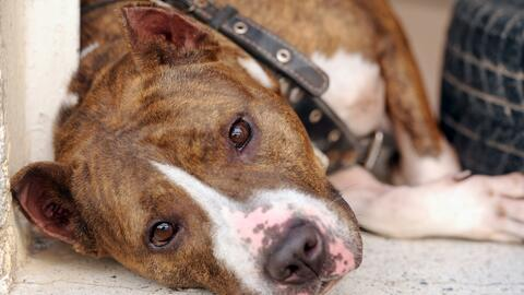 Prostituyen perras pit bull como juguetes sexuales en Puerto Rico