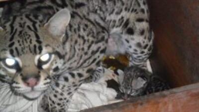 El ocelote del zoológico de Chapultepec. (Foto cortesía del Gobierno del...