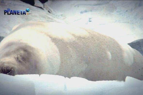 Hermosos especímenes que descansan en las heladas tierras de la Antártida.