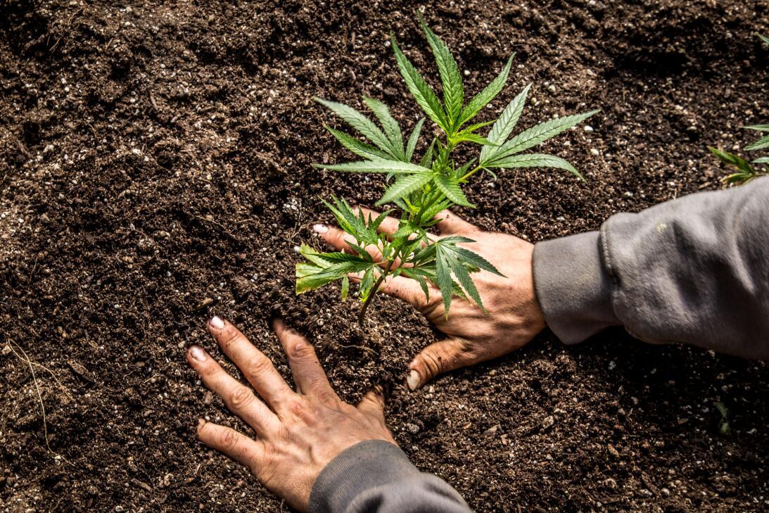 La sed del cannabis y 9 cosas que no sabías de esta hierba istock-672559...