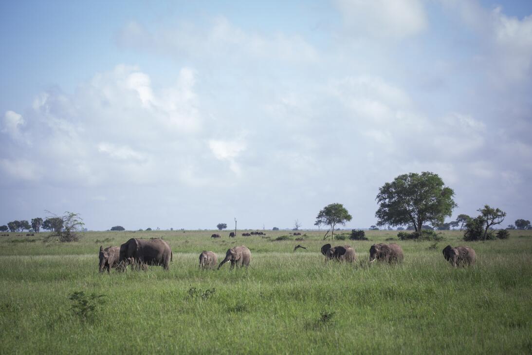 Un collar de radiomarcaje tamaño elefante busca salvar a esta especie en...