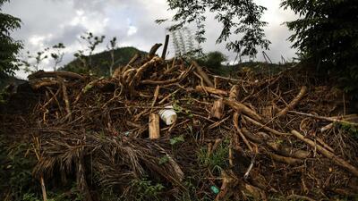 Enero 4: Las verdes por las maduras luego del huracán
