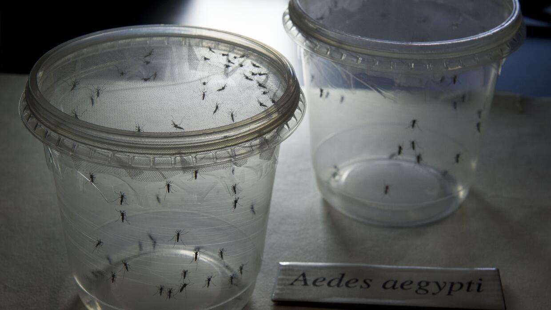 Mosquitos infectados del género Aedes.