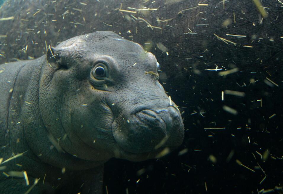 Este hipopótamo fue captado cuando tenía un mes de nacido en el zoológic...
