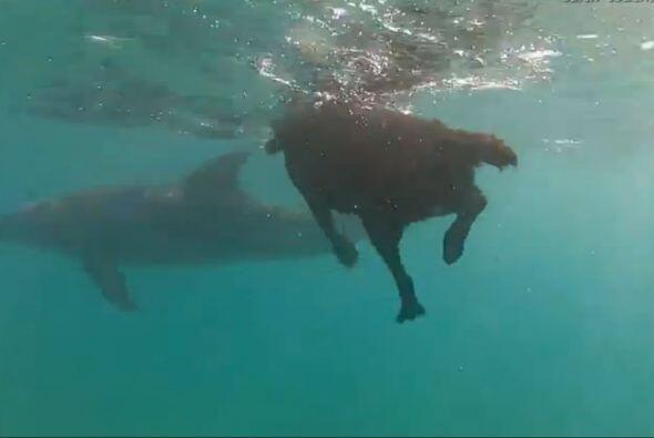 Y al parecer a los delfines no les molestó en nada este peludo intruso q...