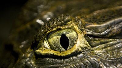Las lágrimas de cocodrilo y otras curiosidades de uno de los animales más temidos y traficados del mundo