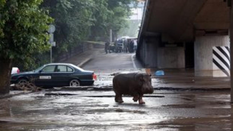 Caos en Tiflis por las inundaciones. Un hipopótamo por las calles.